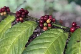 การปลูก Farming Systems การปลูกเมล็ดกาแฟ